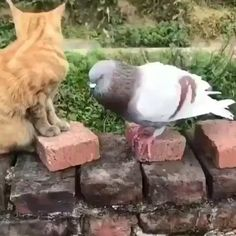 Pigeon and cat fight - GIF Cute Little Animals, Cute Funny Animals, Cute Cats, Cute Animal Videos, Funny Animal Pictures, Funny Birds, Funny Cats, Cat Fight Gif, Gato Gif