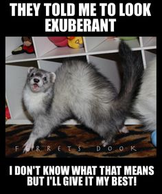 Bustin a move! Animals And Pets, Baby Animals, Funny Animals, Cute Animals, Ferrets Care, Funny Ferrets, Ferret Toys, Pet Ferret, Pets