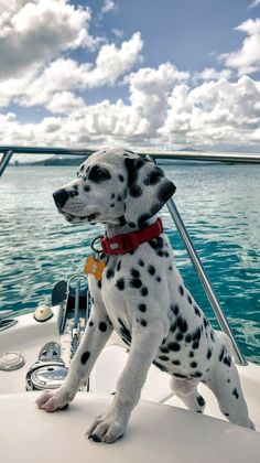 A Dalmatian puppy's first time on a boat! - pets - A Dalmatian p. - A Dalmatian puppy's first time on a boat! – pets – A Dalmatian puppy's first time on a boat! Baby Animals Pictures, Cute Animal Pictures, Animals And Pets, Funny Dog Pictures, Cute Little Animals, Cute Funny Animals, Funny Dogs, Cute Dogs And Puppies, Doggies