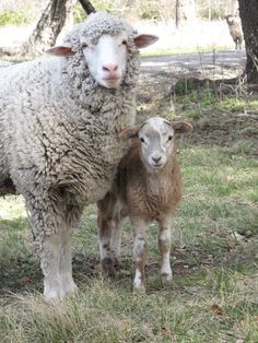 Sheep and lamb in Fredericksburg, Texas at Settler's Crossing Bed and Breakfast