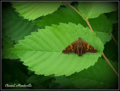 Petit Papillon de nuit