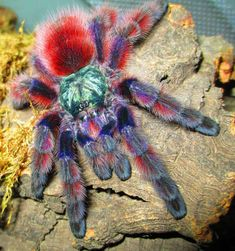 """Antilles Pink-Toe Tarantula - Avicularia versicolor - This arboreal tarantula belongs to the family Theraphosidae and is native to Guadeloupe and Martinique in the Caribbean Sea. It makes quite the popular pet as it is rather docile. It is able to leap 11.81"""" (30 cm) in length or heighth"""