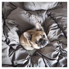 Baby, its cold outside. #frenchie#frenchbulldog#franskbulldog#bulldog#hemtex#bedlinen