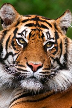For ecotourists one of the best parts about trip planning is exploring the incredible animals you'll find, like this beautiful Tiger in India Tiger Images, Tiger Pictures, Tiger Artwork, Tiger Painting, Big Cats, Cats And Kittens, Cute Cats, Beautiful Cats, Animals Beautiful