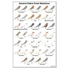 General Fix Zebra Finch Mutations Poster African Lovebirds, Hobby Bird, Zebra Finch, Bird Poster, Animals Of The World, Pet Birds, Birds 2, Custom Posters, Beautiful Birds