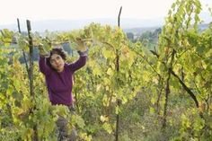 How to Prune Overgrown Grape Vines