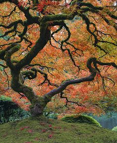 The Maple Tree Fall Colors at Portland Japanese Garden