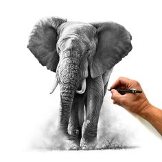 Browse through a collection of wildlife paintings and drawings by Richard Symonds. The majority are available as limited edition prints to buy from this shop. Elephant Love, Elephant Art, Elephant Tattoos, Animal Tattoos, Elephant Sketch, Elephant Drawings, Elephant Paintings, Horse Drawings, African Elephant