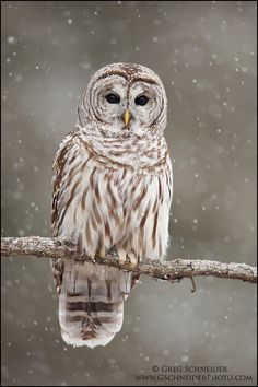 Barred Owl in heavy snowfall by Greg Schneider on 500px