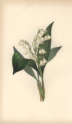 """Lily of the valley (Convallaria majalis) - Handcoloured botanical illustration drawn and engraved by William Clark from Rebecca Hey's """"Moral of Flowers,"""" London, Longman, Rees, 1833 - Natural History Museum, London"""