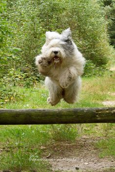 """Old English Sheepdog energy/jump ; ) """"hello there! here I come..."""" • dogs  Youri/Boy/Sophie belong to Cees in Holland • dewollewei photography 2014-09-07 via flickr 15011901239"""