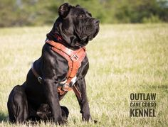 """The Traditional Cane Corso should be a large dog having both great power and stamina! Outlaw's Superman """"Hero"""""""