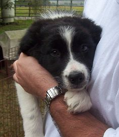 Border Collie Puppy - Murphy Dog. This Murphy dog looks so much like our Murphy dog, it took us aback. @Andrea Stringer.