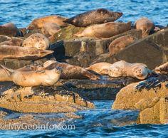 Seals on the rocks near Bar Harbor and Acadia National Park.