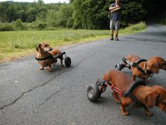 Pack of Doxies in Dog Wheelchairs