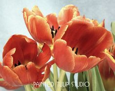 Tulips Flower Fine Art Photography  /Lush Coral Red  Yellow Tulips/ 8x10 Giclee Archival Reproduction Print by PaintedLightStudio via Etsy #fpoe