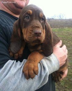 Bloodhound- love this precious man!