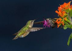 Male Calliope Hummingbird Shuttle Display by Walter