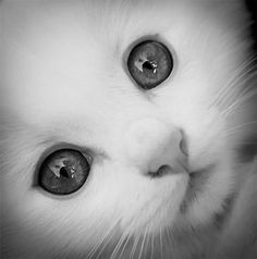 Snow Drop!! This is the cutes kitten in the world