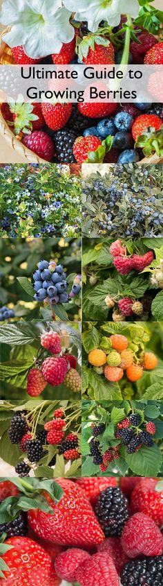 There has never been a better time to add perfectly-ripe, plump, tasty homegrown berries to your garden. New, more compact-sized plants and improved varieties have made growing berries even easier and more rewarding. We grow our berries in a special soil mix crafted especially for edibles, so your plants will flower and fruit more in their first year in your garden. #perfectgardensoil