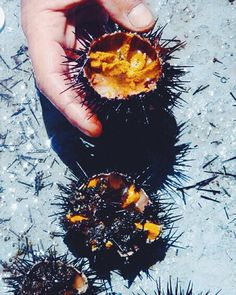 Sea urchin- #greek fishermen catch these guys & return to the arduous task of cracking them open & carefully removing all that orange goo (a delicacy & their equivalent to caviar) Bay of Ammoudi Santorini Greece by themodestadventurer