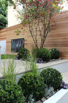 Acer and Buxus Balls in chic Kentish Town garden, with cedar screening and Millboard decking