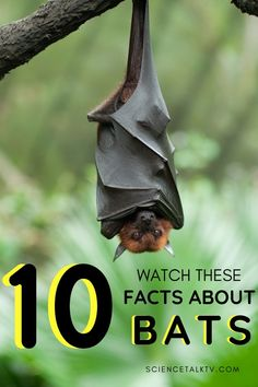 Today we learn 10 Cool Facts about Bats. Bats have so many super powers, and are 60 million years old! The world needs bats to serve several functions. But, why are bats dangerous? Here's a video about 10 cool facts about bats and find out if they are dangerous or now and why are they important. #animalsciencetv #factsbats #bats #batfact via @animalsciencetv Fun Facts About Animals, Animal Facts, Science Topics, Teaching Science, All About Bats, Bat Facts, Animal Science, 21st Century Skills, Upper Elementary