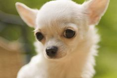 perros pequeños - Buscar con Google