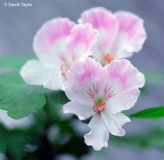 Geranium 'Quantock May' Pelargonium