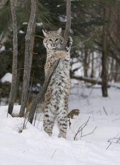 Este pequeño pedazo de vientre manchado del Bobcat, ((Lynx rufus), es todo lo que se utiliza en el comercio de pieles y por qué están atrapados miles de estos gatos y asesinados cada año