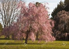 Weeping Willow Tree In Full Bloom In The Spring Time. Stock Photo, Picture And Royalty Free Image. Image 4651885.
