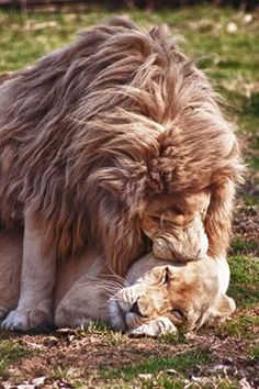 I absolutely love lion love. Nature Animals, Animals And Pets, Funny Animals, Cute Animals, Lion Love, Cat Love, Beautiful Creatures, Animals Beautiful, Big Cats