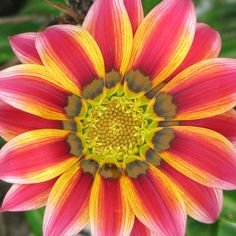Gazinnias are tough garden perennial plants, tolerating poor soil and drought. Many cultivars are available, including striking, multicolored forms. Amazing bursts of color!