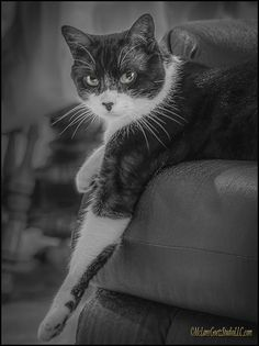 Lounge Cat by LeeAnn McLaneGoetz McLaneGoetzStudioLLC.com Everyone knows a lounge cat. It is the cat that always moves in takes over and claims the most comfortable chair in the house. Washington, Michigan #cat,#black and White,#Lounge,
