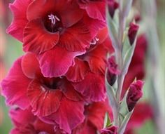 Plum Tart - Gladiolas - Flowers by category | Sierra Flower Finder