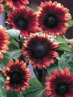 Sunflower, Cherry Rose - Annual Flower Garden Seeds