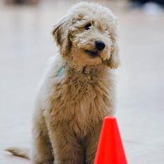 How handsome is Treacle on a scale of 1-5? We would say 5. He joins us each week in our Puppy classes. #puppy #puppies #puppytraining #forcefreetraining #cutedogs #karenpryor #karenpryoracademy #corby #ketteringtown #northamptonshire #rothwelltown #cockapoo #cockapoosofinstagram #cockapoopuppy #cockapoolove #dog #dogs #doggy #doggie #dogs_of_instagram #dogsofinstagram #dogtrainer #dogtraining #dogtrainingclasses by watchmychops_dogtraining http://bit.ly/teacupdogshq