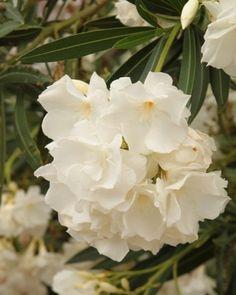 Ki a leanderekkel! Landscape, Garden, Plants, Sweetie Belle, Flowers, Scenery, Garten, Lawn And Garden, Gardens