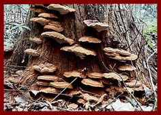 Artist's Conk / Ganoderma applanatum  Anti-tumor / Lowers Blood Pressure / Increases NK Cells