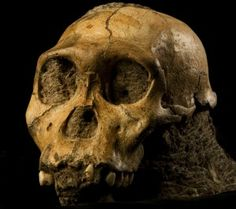 Australopithecus sediba skull. Dental clues reveal unexpected diet of early human relative.