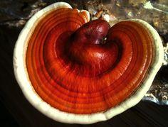 Ganoderma lucidum il fungo dell'immortalità