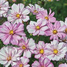 Cosmos Seeds - COSIMO COLLARETTE - Semi Double - Cosmos Bipinnatus - 25 Seeds | eBay