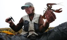 9.3.14 - Maine lobster and Cape cod under threat from rapidly warming seas - Long-established species flee to colder environment as Gulf of Maine waters heat up faster than 99% of world's oceans