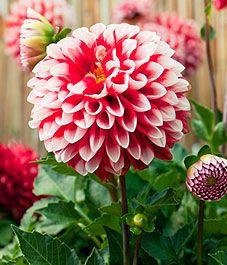 Dahlias. Would love it if mine would bloom like this. 3years and no blooms I have no link with them