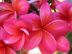 Donald Angus Red Plumeria Cutting, Maui Plumeria Gardens