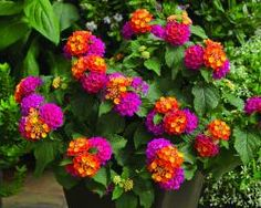 Lantana - Cherry Sunrise