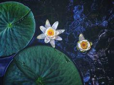 Kävimme veneellä vastarannalla mustikassa ja matkan varrella kukki kauniita lumpeita. 😍Pian saa kesän ensimmäisen mustikkapiirakan. 😋 #waterlily #lumme #lampi #naturephotography #kesä #pond Painting, Instagram, Art, Art Background, Painting Art, Kunst, Paintings, Performing Arts, Painted Canvas
