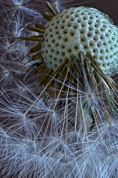 'Dandy Macro' by Dianne English Dandelion Clock, Dandelion Wish, Dandelion Seeds, Patterns In Nature, Textures Patterns, Foto Macro, Wow Photo, Micro Photography, Macro And Micro