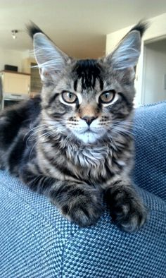 Maine Coon Rocky