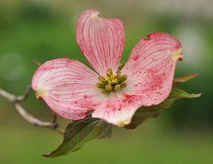 dogwood   Dogwood Flower Pictures - Pink Dogwood Flowers